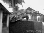 La rana saltante